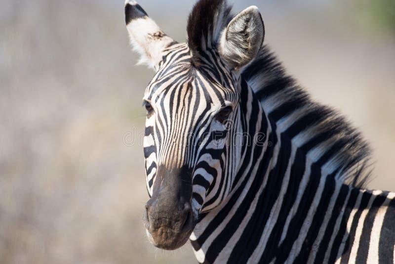 Zebra in Nationaal Park Kruger royalty-vrije stock afbeelding