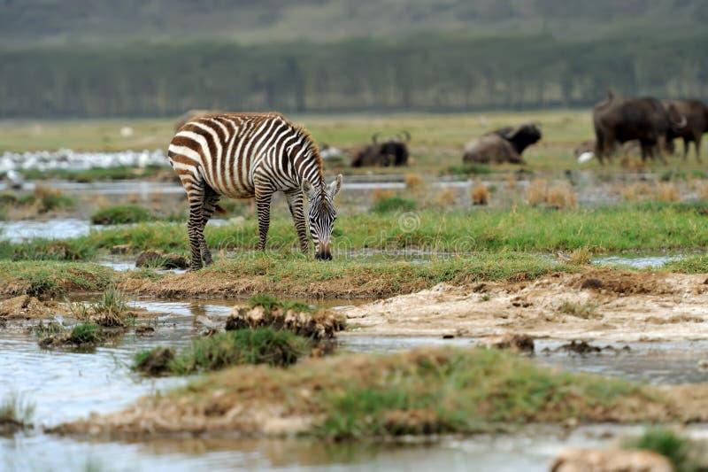 Zebra stock photos