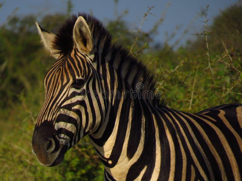 Zebra in nature, sunrise colour falling on face stock photo