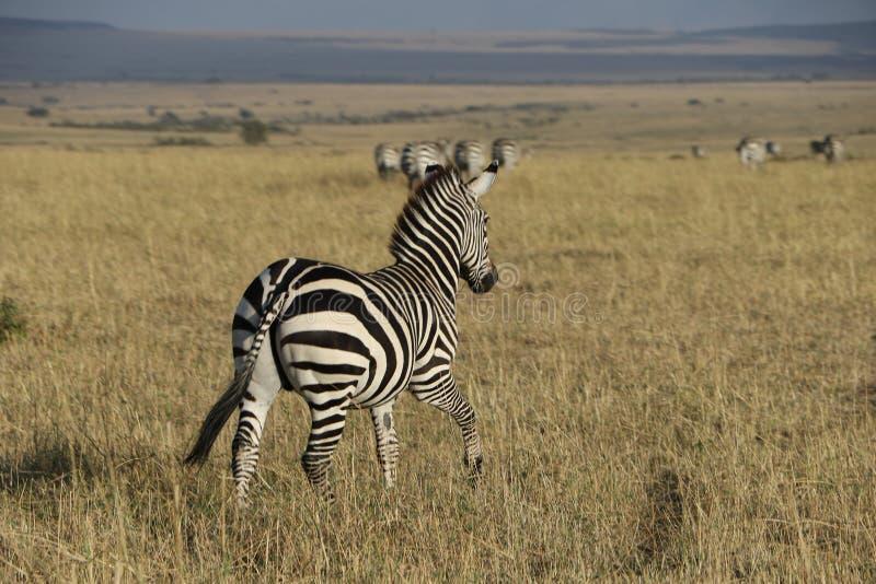 Zebra nel maasai selvaggio Mara immagini stock