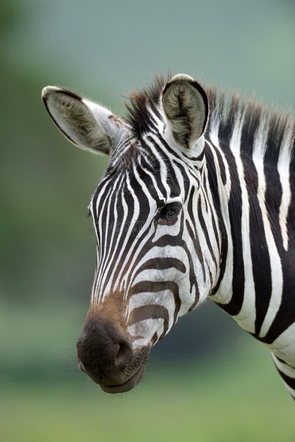 Zebra nel parco nazionale di Serengeti, Tanzania, Africa orientale immagini stock
