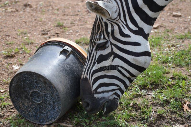 Zebra nell'aria aperta fotografia stock
