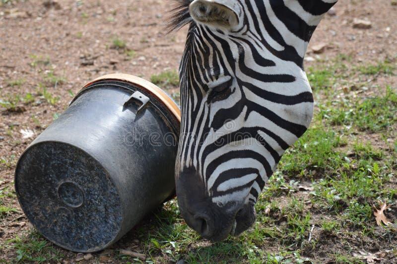 Zebra nell'aria aperta immagini stock libere da diritti