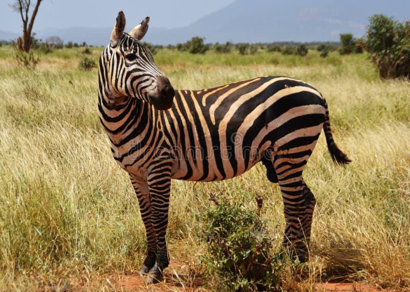 Zebra nella savana, Kenya, Africa immagine stock libera da diritti