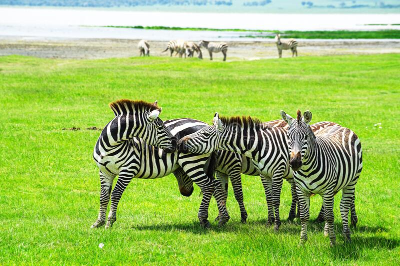 Zebra in Ngorongoro Conservation Area, Tanzania. Zebra herd in Ngorongoro Conservation Area, Tanzania. African safari wildlife watching trip stock photography