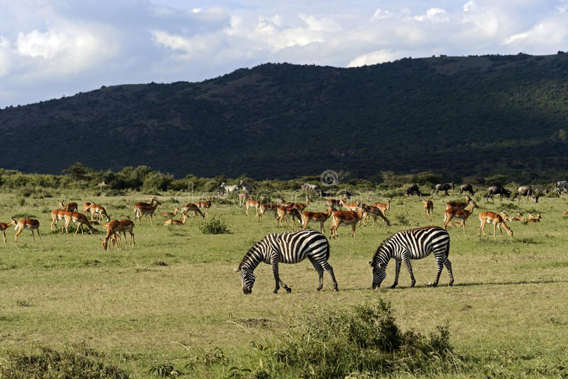 Zebra no Masai Mara fotos de stock