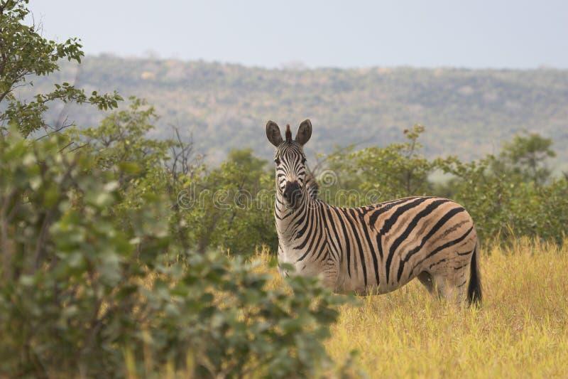 Zebra no parque nacional de Kruger fotos de stock royalty free