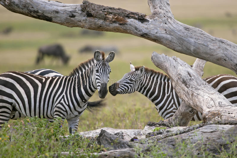 Zebra no parque nacional de Serengeti, Tanzânia fotografia de stock