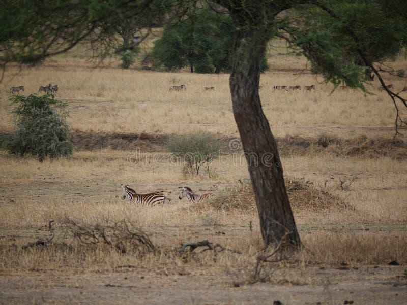 Zebra no safari de Tarangiri - Ngorongoro fotografia de stock royalty free