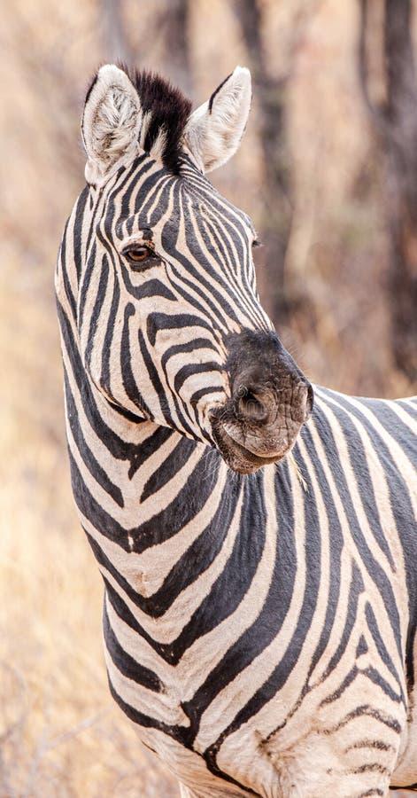 Zebra no Santuário Khama Rhino, Botsuana foto de stock royalty free