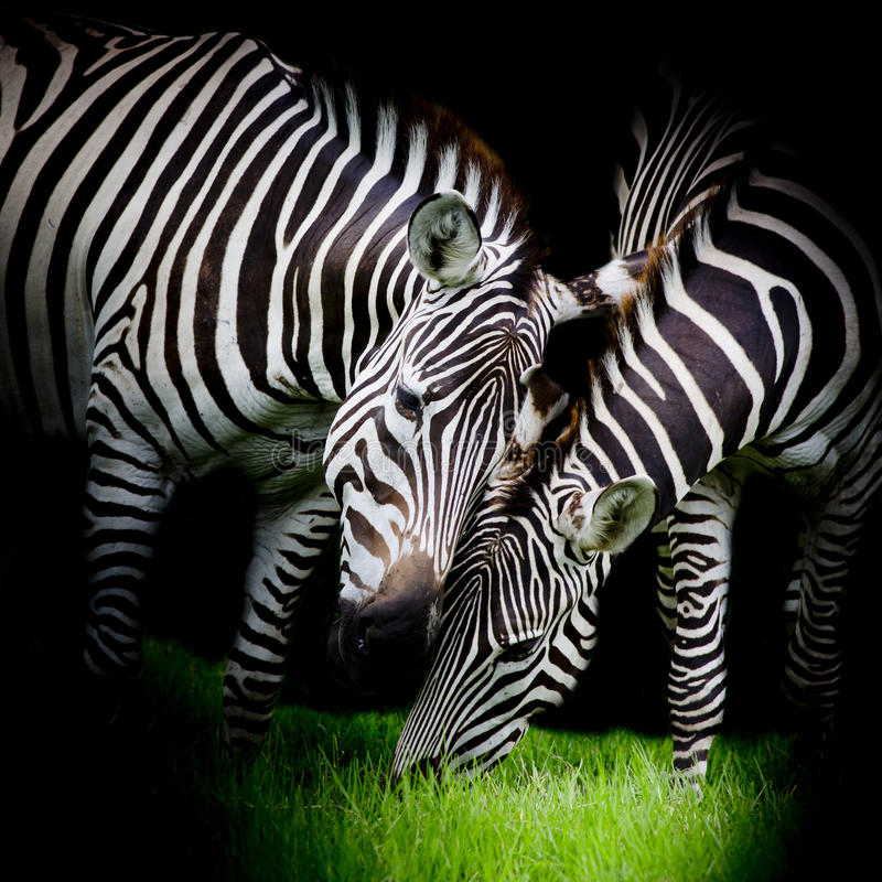 Zebra nova com mamã foto de stock