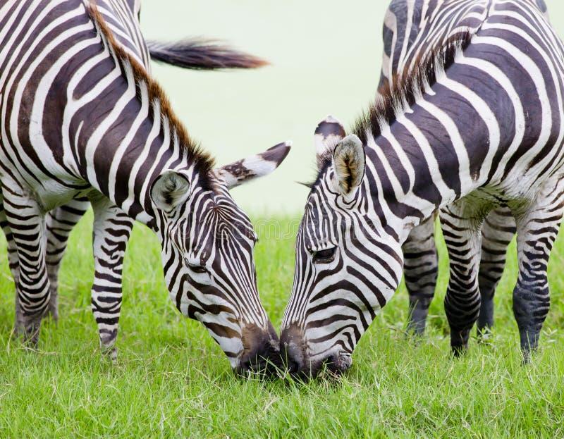 Zebra nova com mamã imagens de stock royalty free