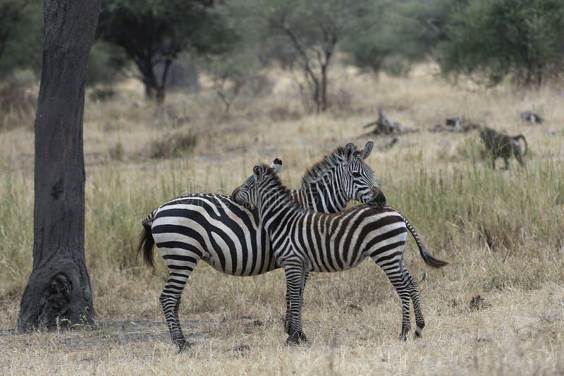 Zebra nova com o revestimento macio marrom imagem de stock royalty free