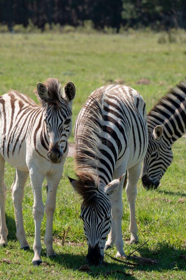 Zebra nova e zebras adultas, fotografadas no parque do elefante de Knysna, rota do jardim, cabo ocidental, África do Sul imagem de stock