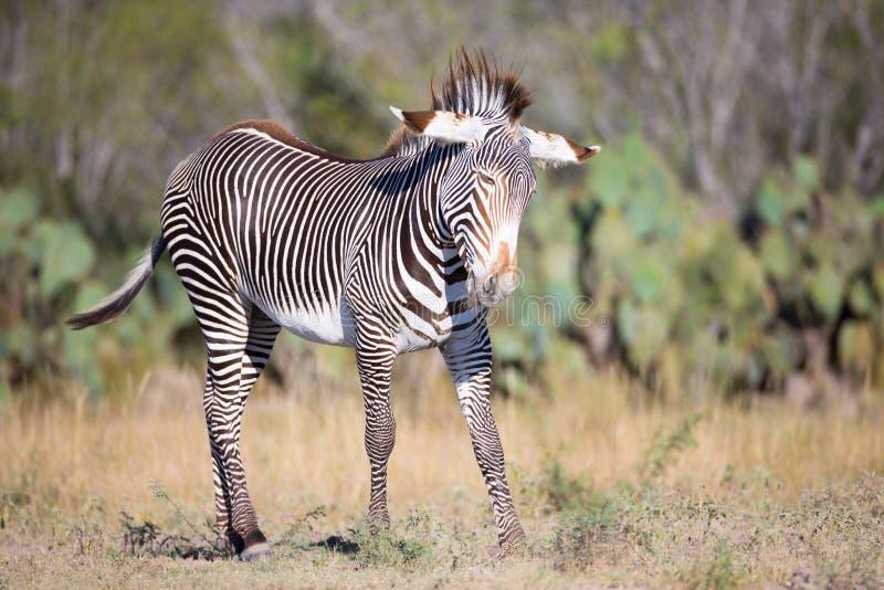 Zebra nova que joga durante a manhã fotos de stock
