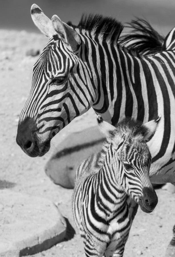 Zebra och kalv fotografering för bildbyråer