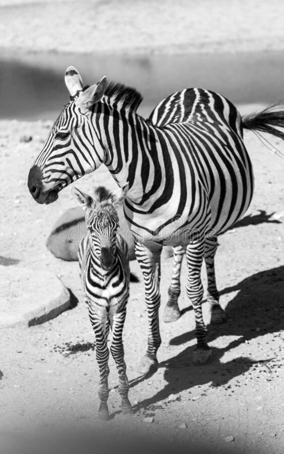 Zebra och kalv arkivbilder