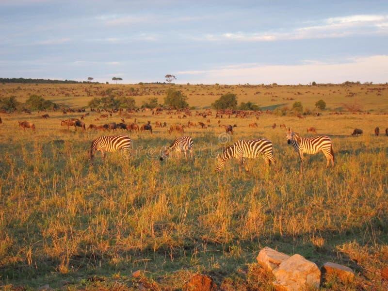 Zebra in ochtendlicht royalty-vrije stock fotografie