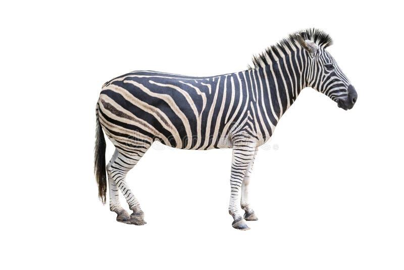 Zebra odizolowywaj?ca na tle zdjęcia royalty free