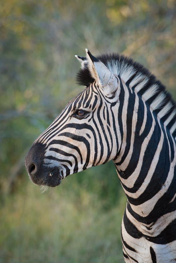 Zebra ogiera profil zdjęcie royalty free