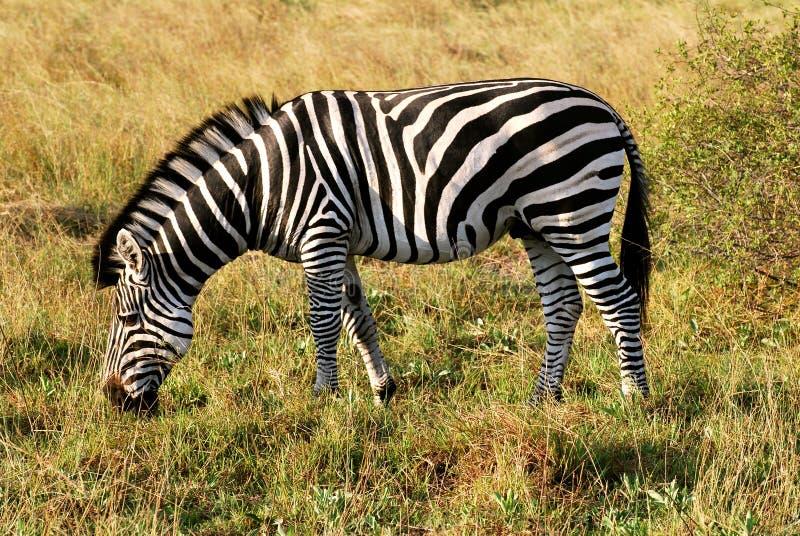 Zebra Portrait royalty free stock images
