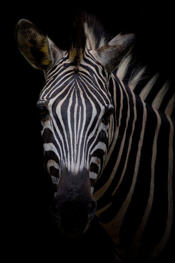 Zebra op donkere achtergrond Zwart-wit beeld royalty-vrije stock afbeeldingen