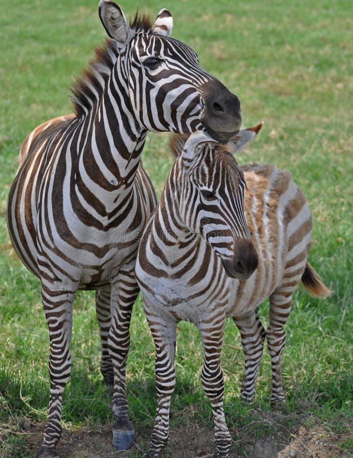 Zebra op Masai Mara royalty-vrije stock afbeelding