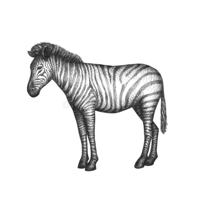 Zebra op witte achtergrond wordt geïsoleerd die Vector royalty-vrije stock afbeelding