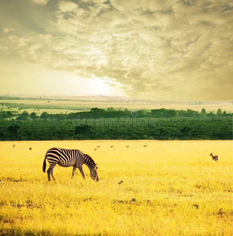 Zebra op zonsopgang stock foto's