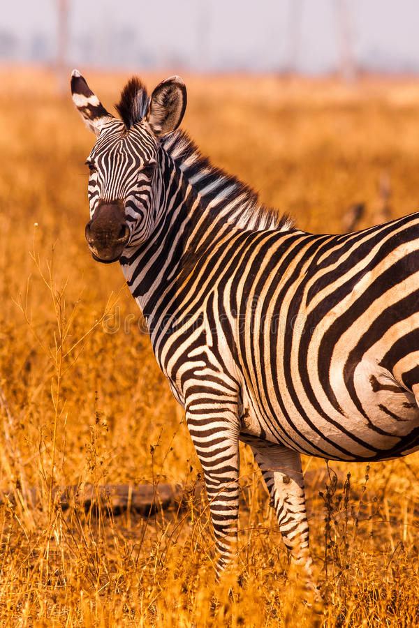 Zebra in an open savannah flood plain royalty free stock photography