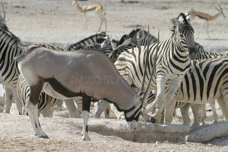 Zebra and Oryx. Closeup of herd of Zebra and Oryx in barren landscape stock photos