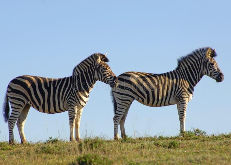 Zebra-Paare stockfoto