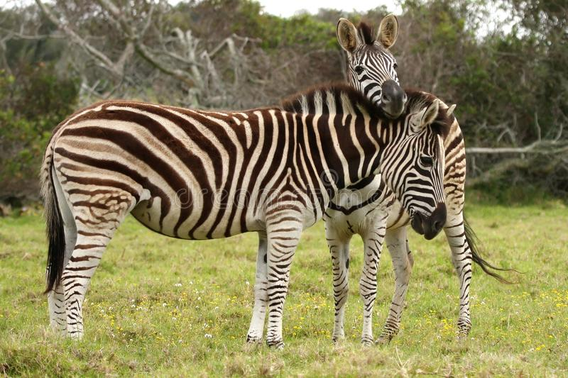 Zebra Pair royalty free stock images