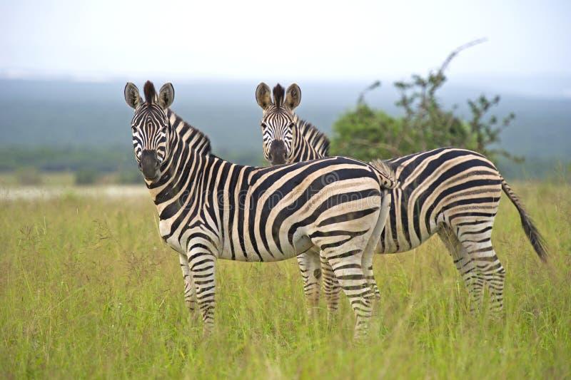 Download Zebra Pair stock photo. Image of pair, stare, savannah - 23969606