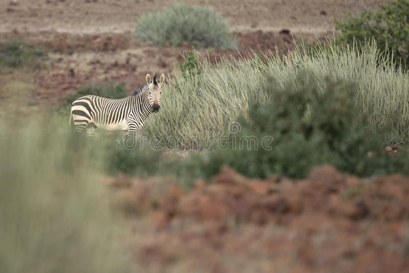 Zebra in Palmwag concession. Kaokoland stock image