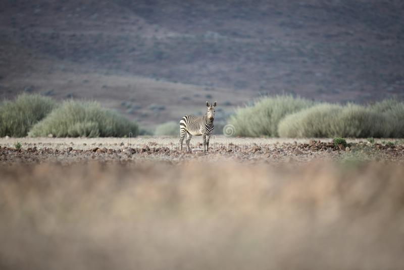 Zebra in Palmwag concession. Kaokoland, Kunene Region. Namibia. Blurred foreground. Harsh landscape. Wide view stock photos