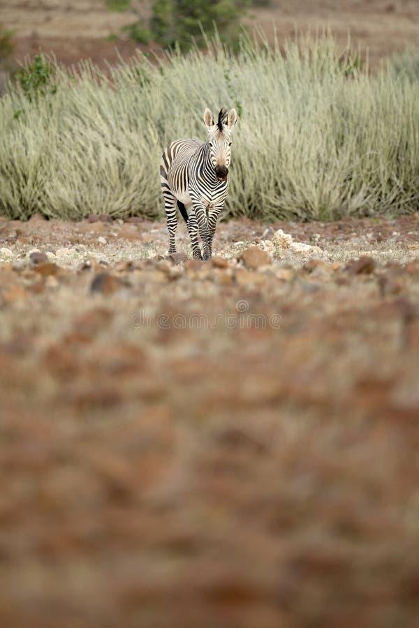 Zebra in Palmwag concession. Kaokoland, Kunene Region. Namibia. Blurred foreground royalty free stock photo