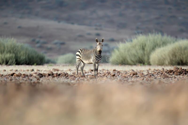 Zebra in Palmwag concession. Kaokoland, Kunene Region. Namibia. Blurred foreground. Harsh landscape stock photos