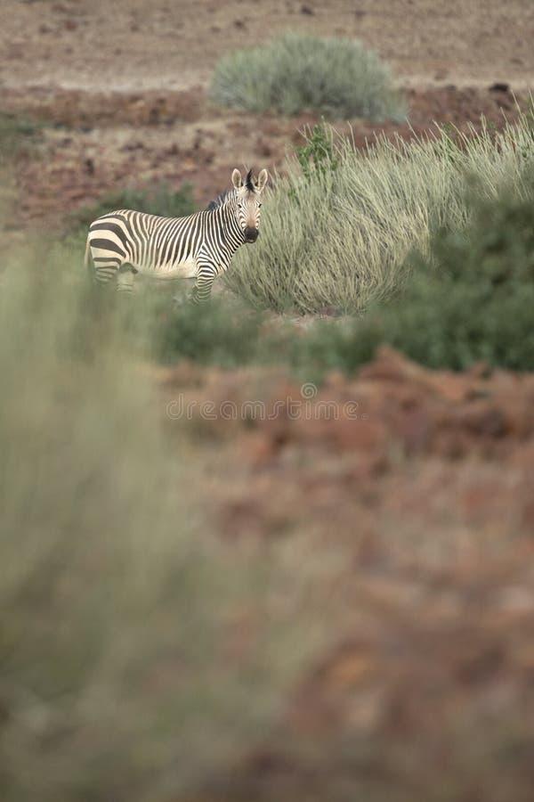 Zebra in Palmwag concession. Kaokoland. Zebra in Palmwag concession. Kaokoland, Kunene Region stock photos