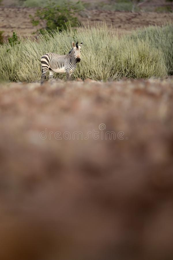 Zebra in Palmwag concession. Kaokoland, Kunene Region. Namibia stock photography