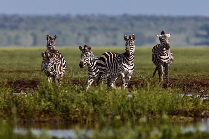 Zebra parada na água fotografia de stock