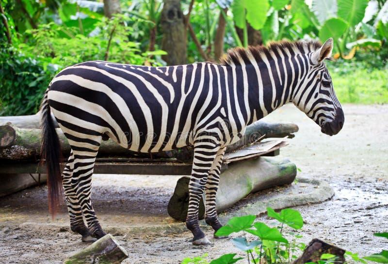 Zebra in a park stock photo