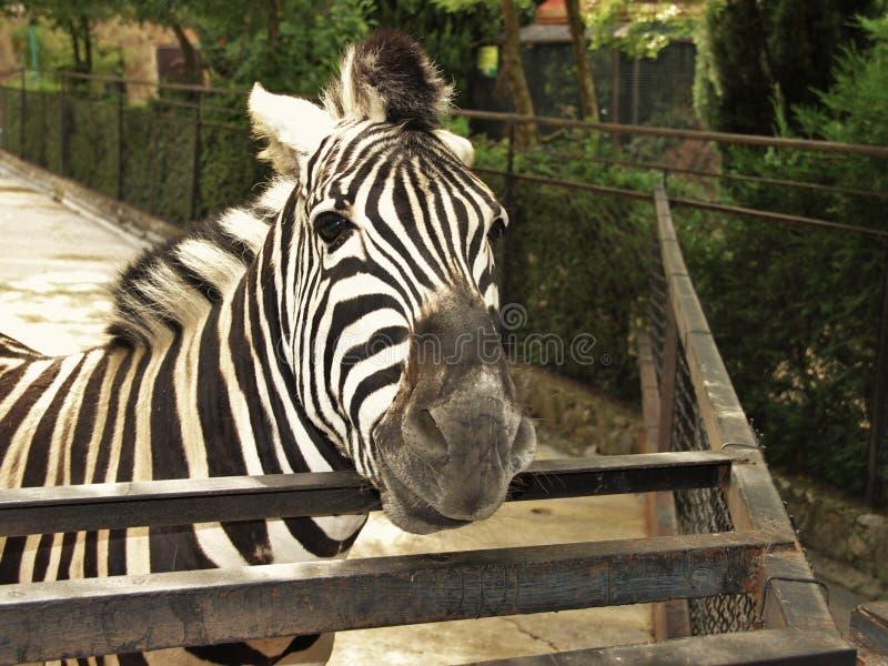 zebra pasiasta zdjęcia royalty free