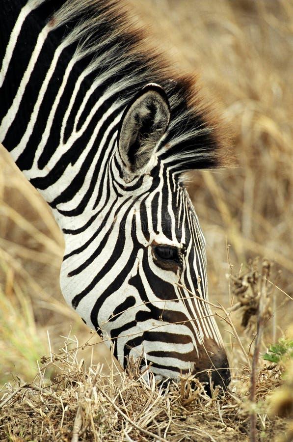 zebra pastwiskowa zdjęcia stock