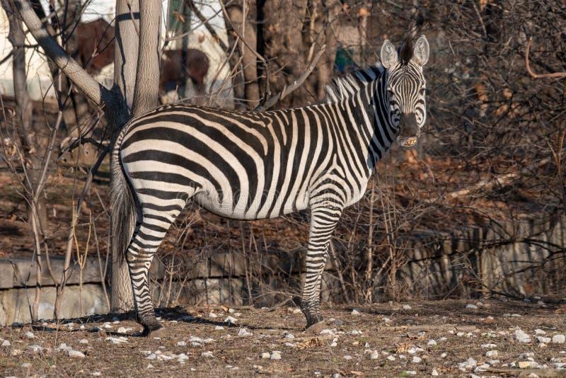 Zebra patrzeje w kamerę podczas gdy żuć na wysuszonej trawie obrazy stock