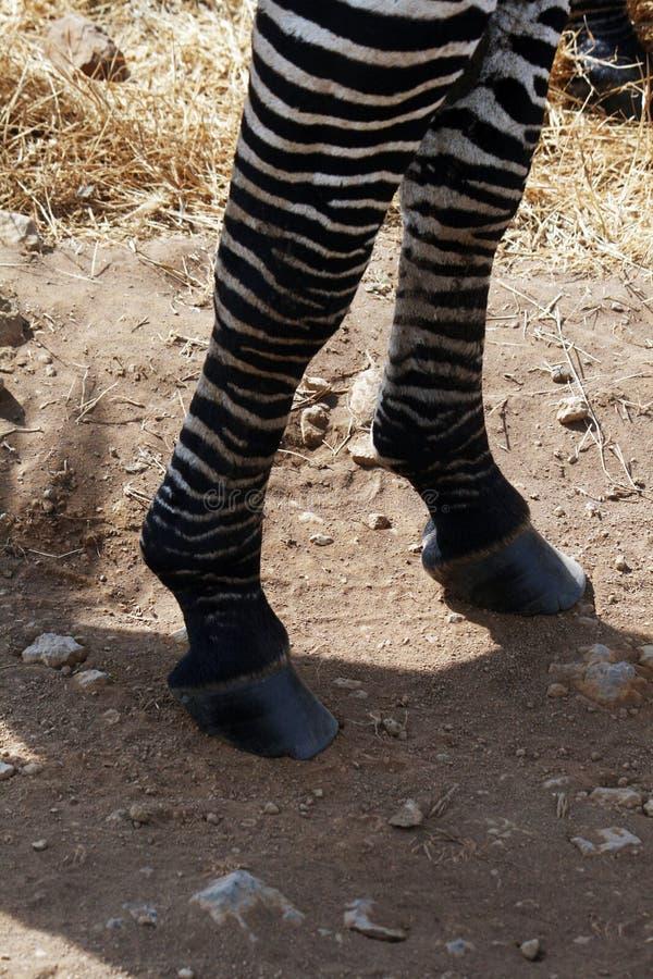 Zebra paws stock photography