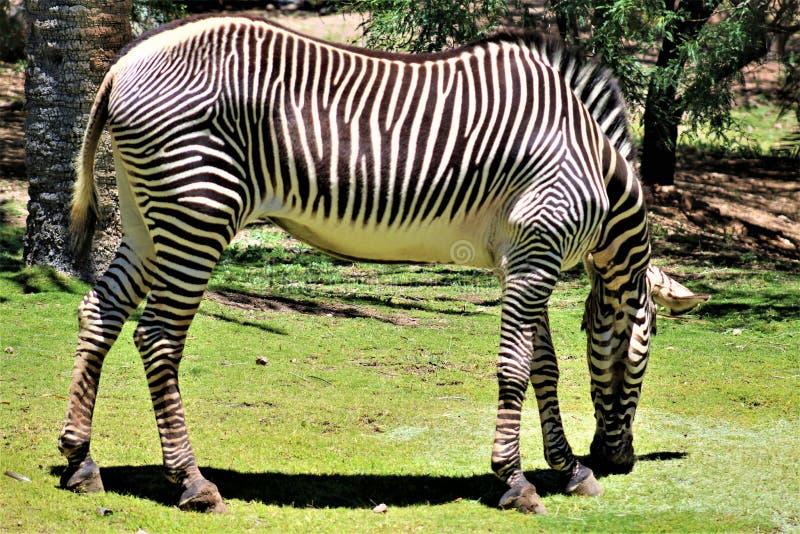 Zebra, Phoenix Zoo, Arizona Center for Nature Conservation, Phoenix, Arizona, United States royalty free stock photos