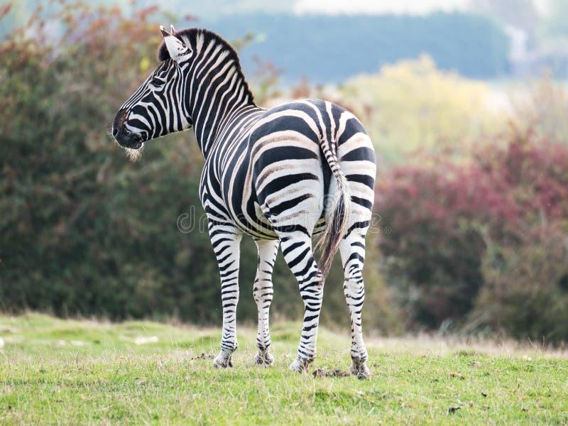 Zebra, photographed from behind at Port Lympne Safari Park, Ashford Kent UK. The Kent countryside in autumn in background. Zebra, photographed from behind at stock image