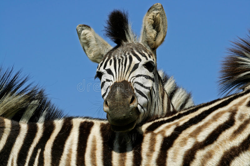 Zebra: Plains Zebra portrait, South Africa royalty free stock photos