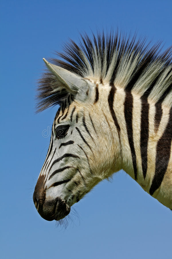 Zebra: Plains Zebra portrait, South Africa royalty free stock photo
